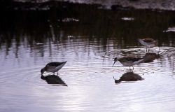 Three Wilson's Phalaropes Photo