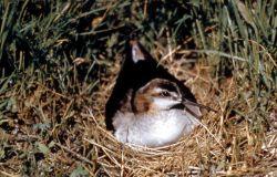 Wilson's Phalarope on nest Photo