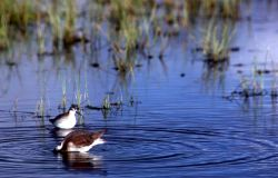 Two Wilson's Phalaropes with summer plumage near Fountain Flats Photo
