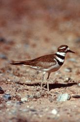 Killdeer approaching nest Photo
