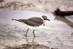 Juvenile Killdeer Photo