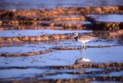 Juvenile killdeer in thermal area Photo