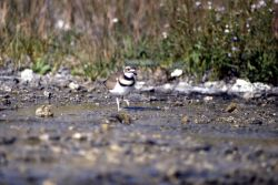 Killdeer on Mammoth Terraces Photo