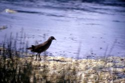 Sora Rail Photo