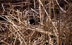 American Coot on nest at Floating Island Lake Photo