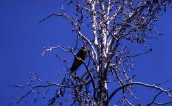 Swainson's Hawk Photo