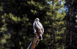 Immature Osprey Photo