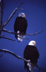 Two mature Bald Eagles in a tree Photo