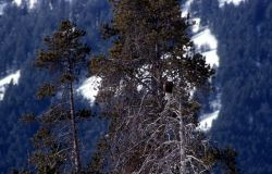 Bald Eagle in a tree at the confluence of Soda Butte Creek & Lamar River Photo