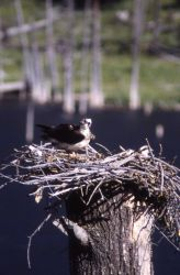 Osprey nest with adult female & chick Photo
