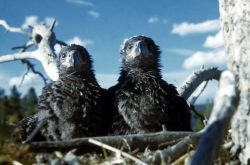 Two Bald Eaglets in nest near Fishing Bridge Photo