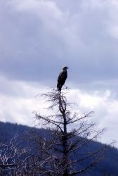 Immature Bald Eagle in a tree Photo