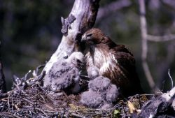 Golden Eagle & two eaglets in nest Photo