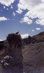 Osprey on nest at Eagle Rock Photo