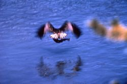Osprey in flight over water carrying fish Photo