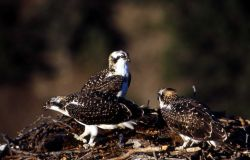 Three Ospreys in a nest Photo