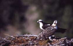 Two Osprey in nest Photo