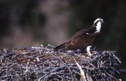 One Osprey in nest Photo