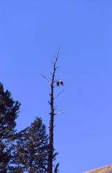 Two Bald Eagles in a tree Photo