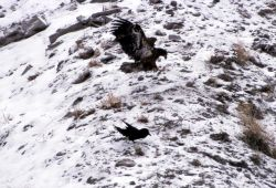 Golden Eagle in the Gardner Canyon Photo