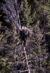 Red-tailed Hawk nest near Tower Junction Photo
