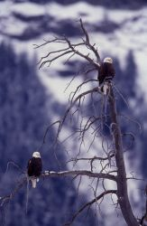 Two Bald Eagles in a tree in Lamar Valley Photo