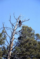Golden Eagle in a tree in Lamar Valley Photo