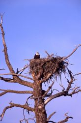 Bald Eagle in nest at Madison River Photo