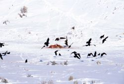 One Bald Eagle & one Golden Eagle landing on elk carcass near the Lamar River (elk killed by Slough Creek wolf pack) Photo