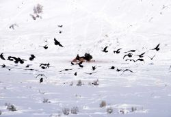 Two Bald Eagles & one Golden Eagle on elk carcass near the Lamar River (elk killed by Slough Creek wolf pack) Photo