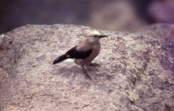 Clark's Nutcracker begging at Gibbon Falls Photo