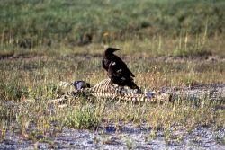 Raven near animal skeleton Photo