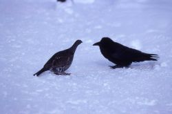 Raven & Grouse stand-off at Old Faithful in winter Photo