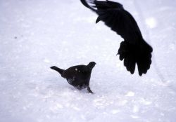 Raven & Grouse stand-off at Old Faithful Photo