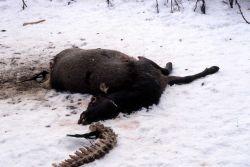 Magpie eating elk in Rose Creek wolf pen Photo