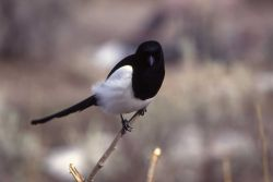 Magpie at Mammoth Hot Springs Photo