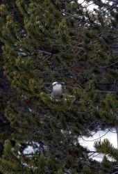 Grey Jay at Lone Star Geyser Photo