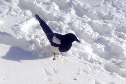 Magpie Photo