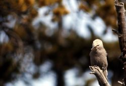 Clark's Nutcracker Photo