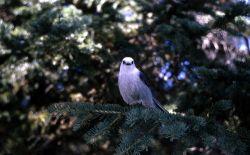 Grey Jay Photo