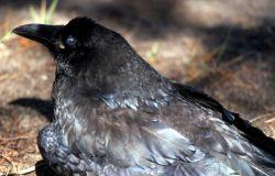 Common Raven Photo