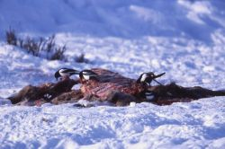 Magpies on elk carcass in winter at Tower Photo