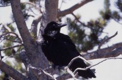 Raven in a tree at Midway Geyser Basin Photo
