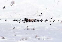 55 ravens at wolf kill site near the Lamar River (elk killed by Slough Creek wolf pack) Photo