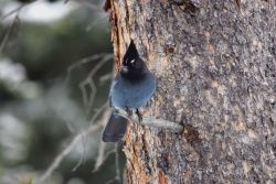 Steller's jay near Silver Gate, MT Photo