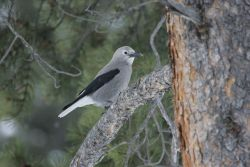 Clark's nutcracker near Silver Gate, MT Photo
