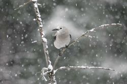 Clark's nutcracker in snowfall near Silver Gate, MT Photo