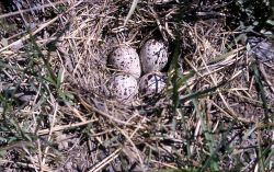 Spotted Sandpiper nest & four eggs Photo