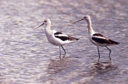 Two American Avocets with winter plumage Photo