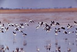 Two American Avocets with winter plumage in flight Photo